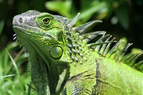 iguana alimentazione iguana verde dieta e alimentazione cosa mangia