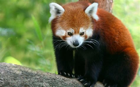 red panda wallpapers hd wallpapers id