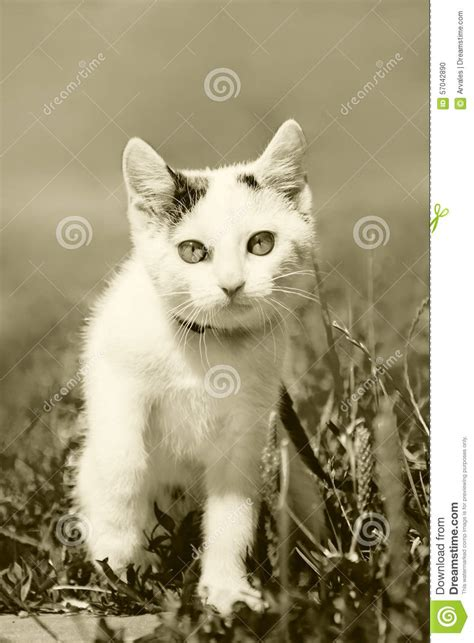 white pussy cat white pussy cat at the walk sepia stock photo image