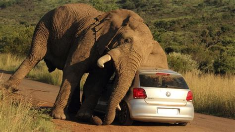 syari eleghant selebrity elephant v car tourists stunned as safari gets too close