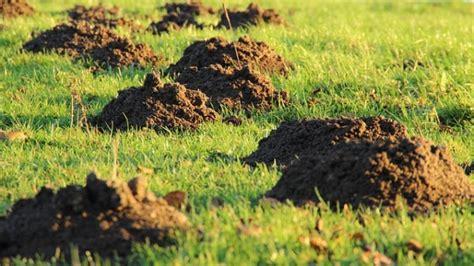 talpe nel giardino talpe rimedi e prevenzione