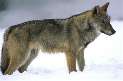 lade lupo abruzzes sauvages ski balades avec les loups id 233 es