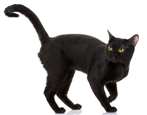 Meaning Of Black Cat At Your Door by Brilliantly Interesting Personality Traits Of Bombay Cats