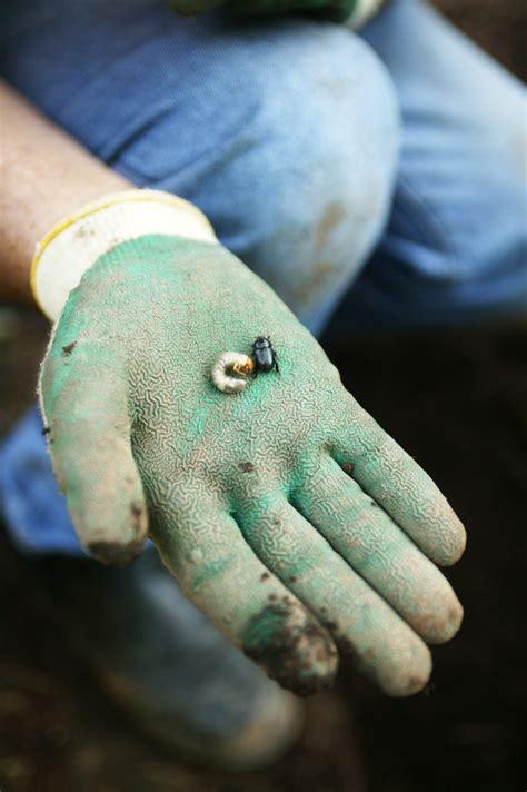 curl grubs in vegetable garden don s tips lawn beetles burke s backyard