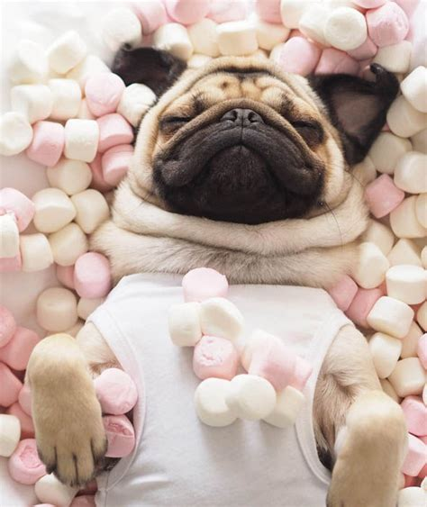 express pug homer pugalicious and marshmallows pug vs food pictures pics express co uk