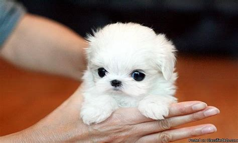 teacup puppy price micro teacup maltese puppies poshfairytail s tiny teacup maltese puppy price