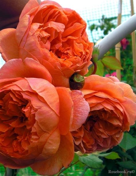 peonies and orange blossoms designing 108 best california plant design images on succulents succulents garden and