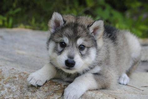 tamaskan puppy tamaskan club of america tamaskan puppies