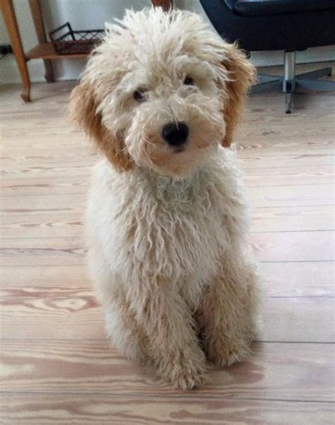 ozzy doodle puppy goldendoodles f1b specialdogs