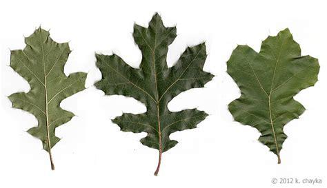 Quercus Velutina Black Oak Minnesota Wildflowers Black White Oak Leaf