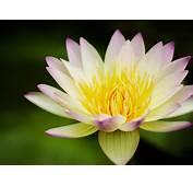 Flower Lotus Yellow White Water Lily 2560x1600