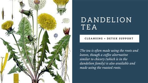 Dandelion Tea Detox by Dandelion Tea Detox And Cleansing Support The Whole Daily