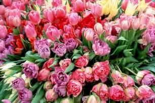 tulips plant flower stock photography gardenphotos com