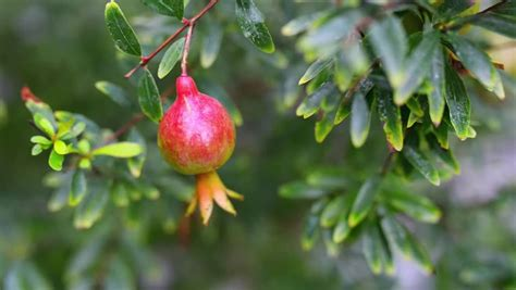 small fruit bearing trees the pomegranate botanical name punica granatum is a