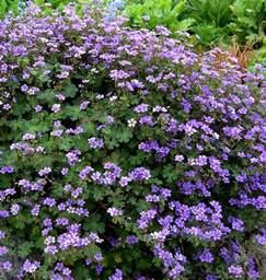 buy geranium pyrenaicum bill wallis delivery by plantstoplant com