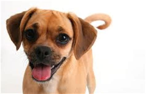 Does A Puggle Shed do puggles shed about doggies