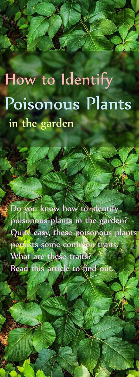 8 Ways To Identify Toxic by Identifying Toxic Plants Gardens Poisonous Plants And