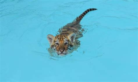 Dade City's Wild Things charges visitors $200 to swim with