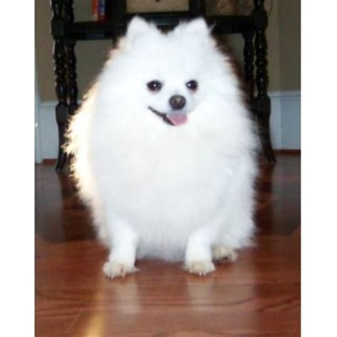 pomeranian rescue alberta pomeranian breeders and kennels freedoglistings