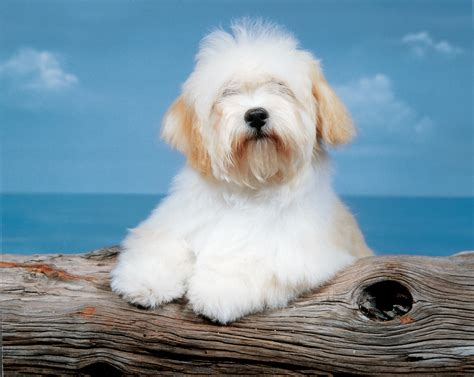 types of havanese havanese breeds at mypetsmart