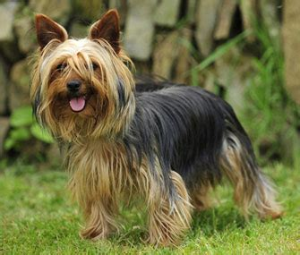 top yorkie names most popular names for terriers
