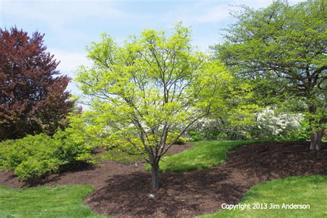 good shade trees for backyard image gallery small trees