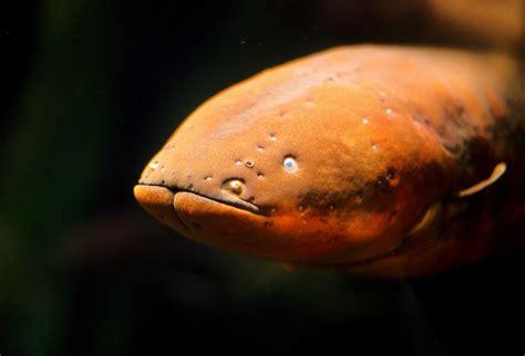 electric eel real monstrosities electric eel