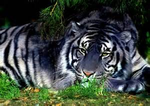 White Farm Table Tiger Images Pictures Quality Images On Animal Picture
