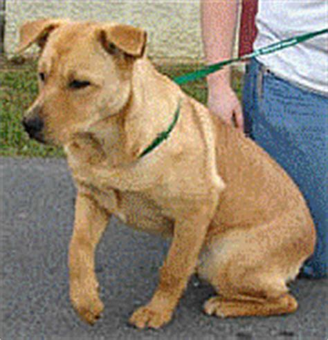 yellow lab rottweiler mix tcgc animal league taking care of god s creatures happy tails