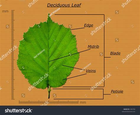 diagram of a leaf leaf diagram stock photo 345792