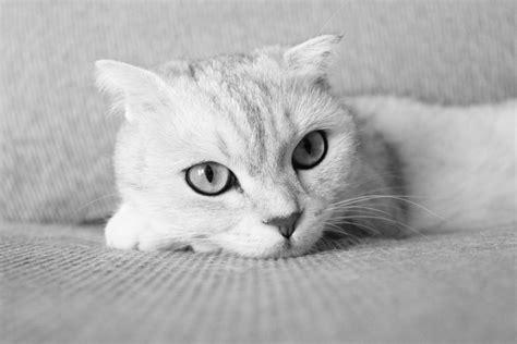 gambar hitam  putih anak kucing binatang menyusui