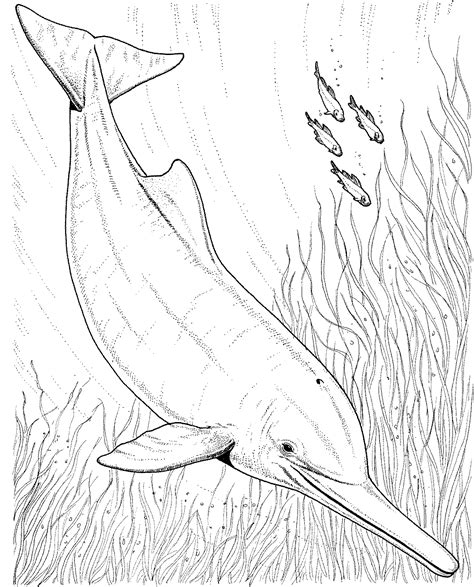 river dolphin coloring page pink river dolphin drawing amazing wallpapers