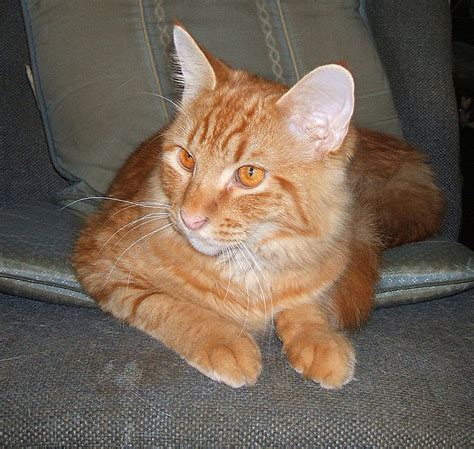 tabby cat wikipedia file red tabby cat with brown eyes jpg