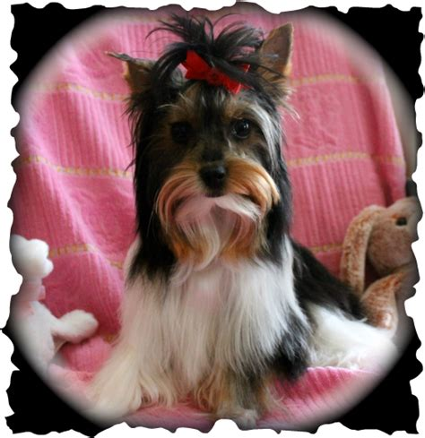 teacup yorkies for sale glasgow yorkie puppies available for sale breeds picture