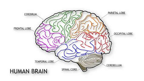 brain diagram for top 10 amazing facts about the human brain jappytopten