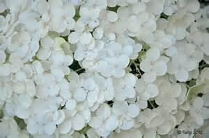 white hydrangeas sally saw white hydrangea