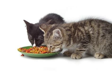 can you feed a cat food feeding your cat on a budget