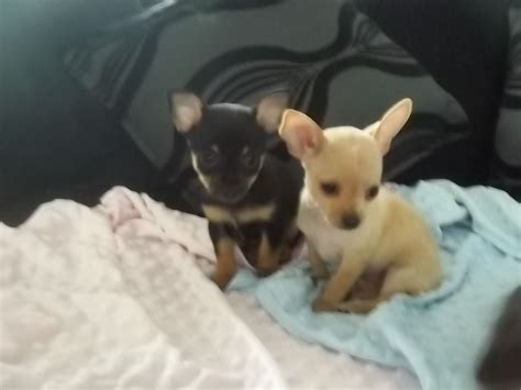 cutest teacup puppies chihuahua pup for sale manchester greater manchester pets4homes