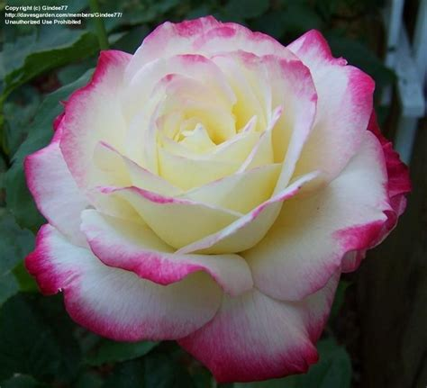 my most fragrant rose roses my search for fragrance pinterest