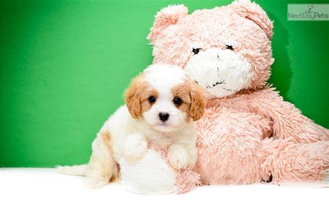 cavapoo puppies ohio cavapoo puppy for sale near columbus ohio b7eeca5e d961