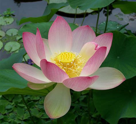 lotus flower growing lotus flower growing plant care and facts about lotus