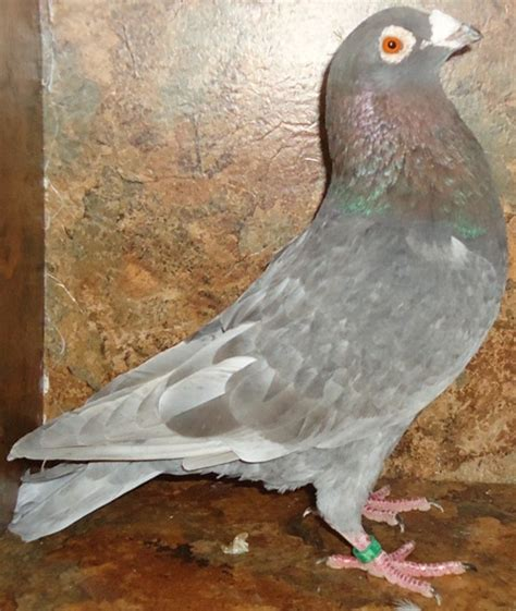 pin many colors of homing pigeons for sale on