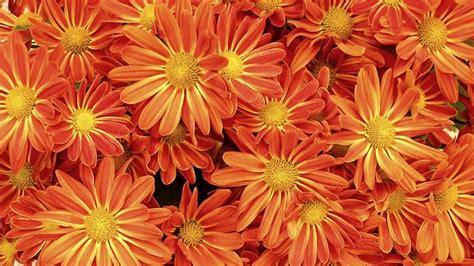 Chrysanthemen Vermehren by Chrysanthemen Mit Einfachen Methoden Vermehren