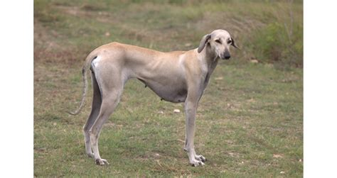 Find In India By Name Indian Breed List Find Name Appearance With Pictures Pets World