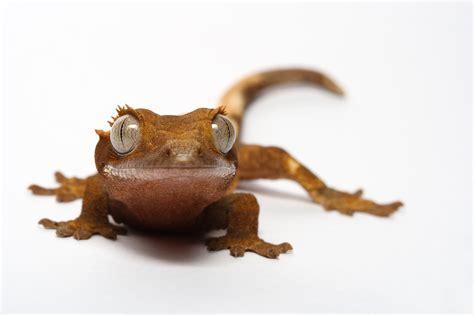 my pet gecko 1 by macrojunkie on deviantart