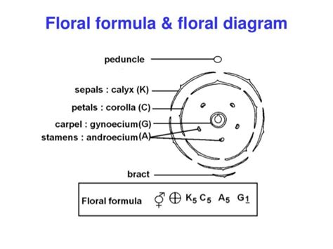 floral diagram of fabaceae family flower structure and pollination mechanisms