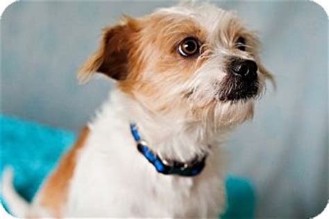 fox terrier and shih tzu mix snoopy adopted 2169 houston tx shih tzu fox terrier wirehaired mix