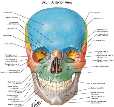 anterior view skull netter anatomy skulls
