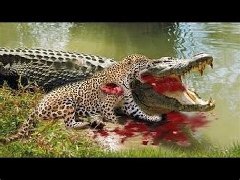 Jaguar Gets Alligator Jaguar Attacks And Kills Crocodile