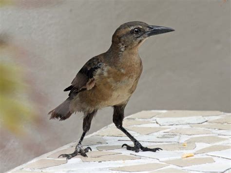 birds of the world grackles